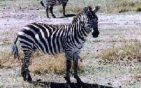 Zebra_Grant1.jpg
